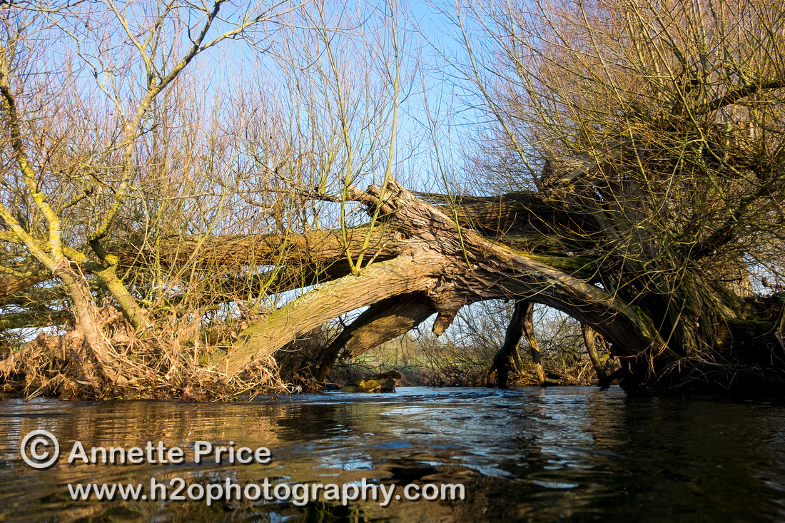 Broken, fallen tree forming an arch over the River Thames. Below Cricklade.