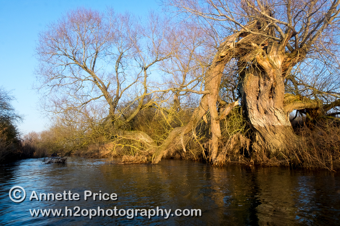 Broken  tree, River Thames. Below Cricklade.