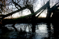 Fallen tree forming an arch over the River Thames. Below Cricklade.