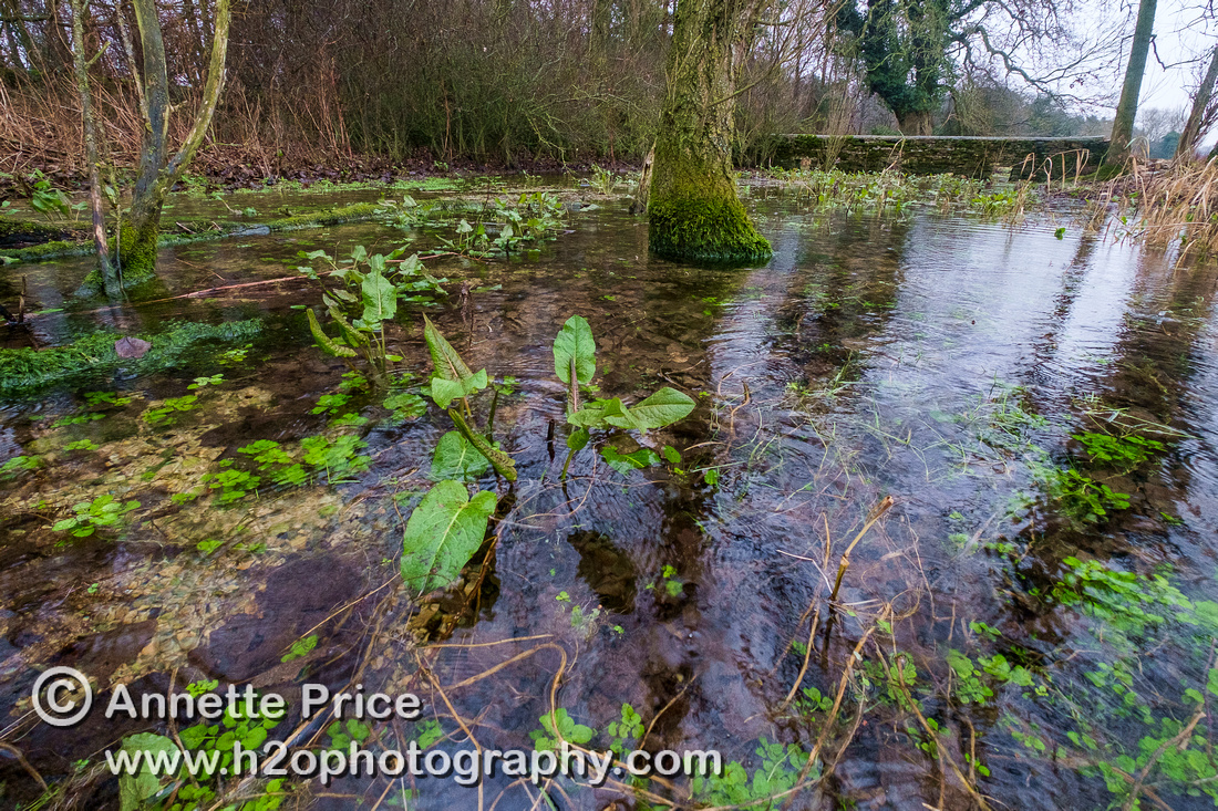 Spring water rising from underground near the source of the River Thames. Kemble.