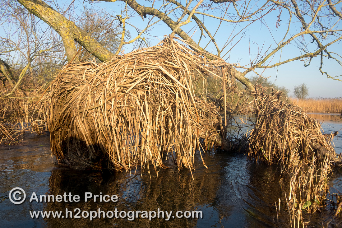 Dead leaves tangled in branches  indicate the previous height of the River Thames.
