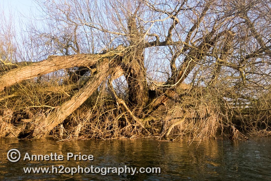 Broken  tree, River Thames. Below Cricklade.