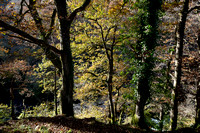 Trees along the  River Mellte, Ystradfellte, Brecon Beacons, Wales,UK
